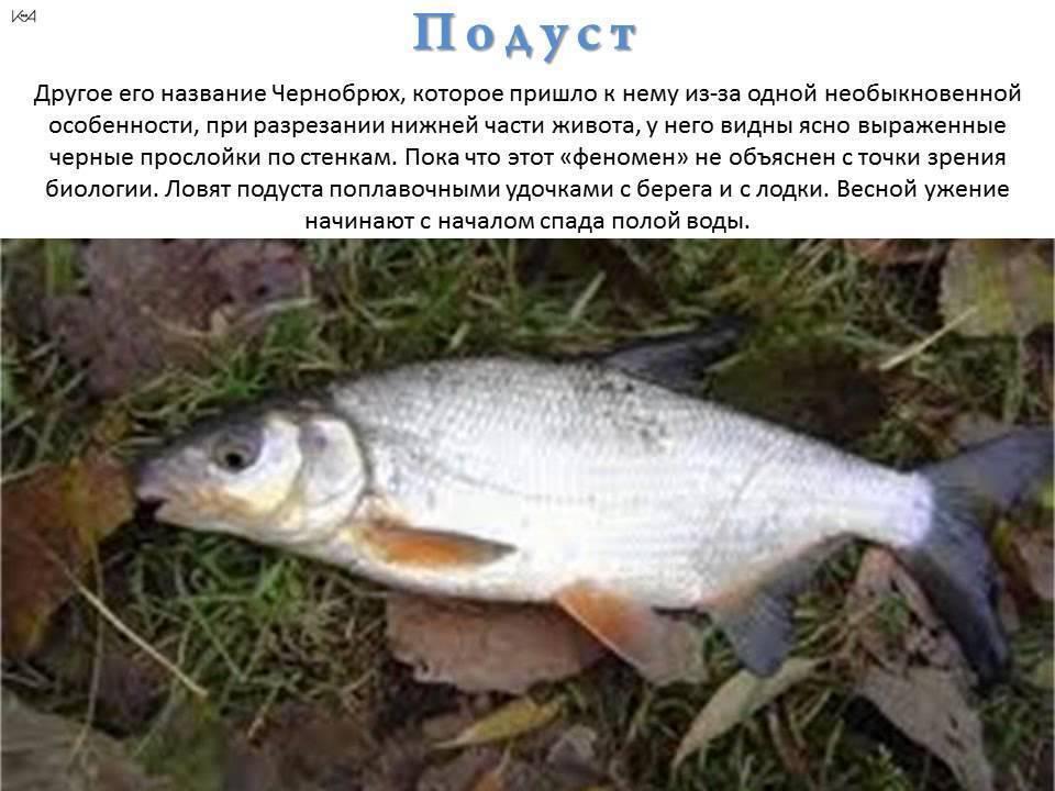 Ловля рыбца - охота и рыбалка, животные, туризм