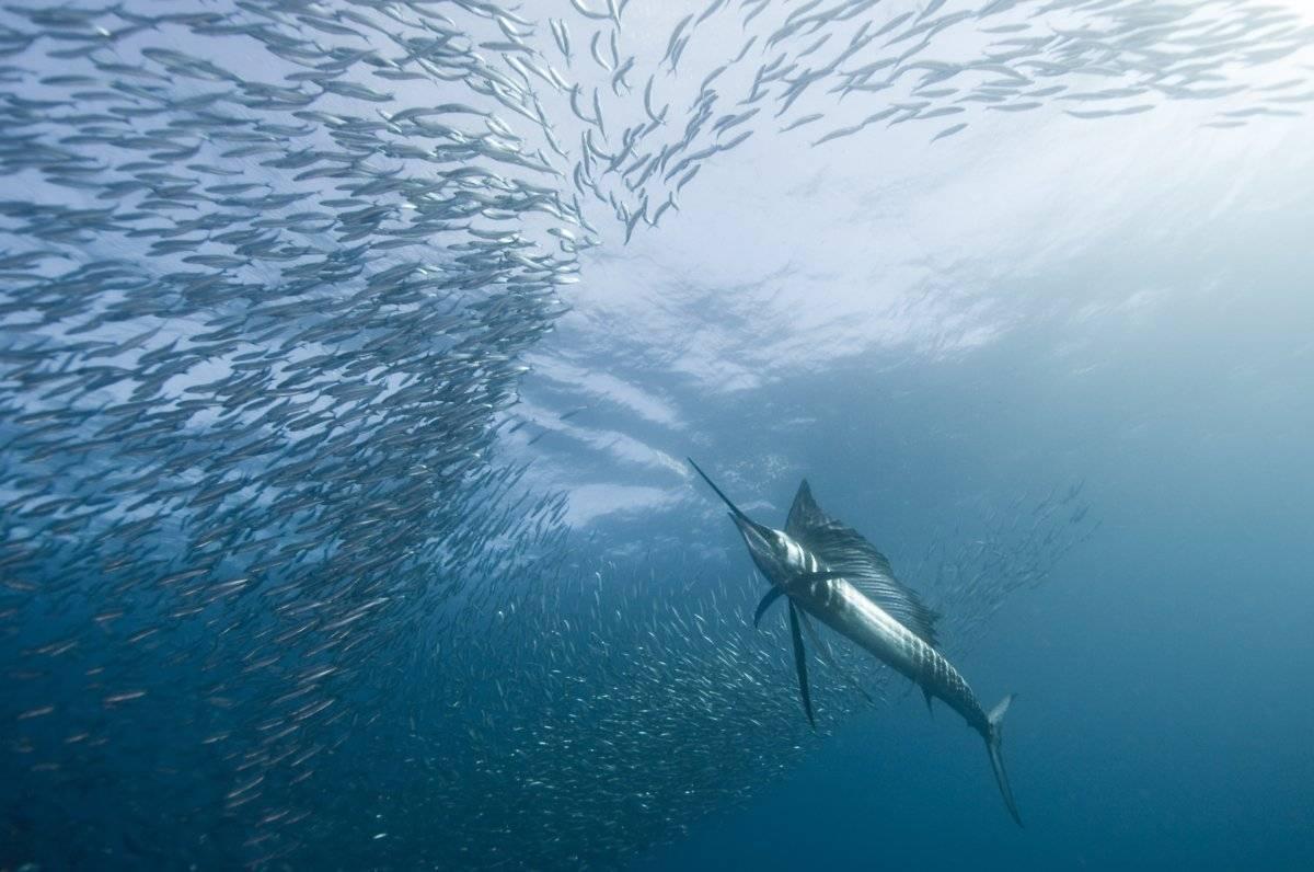 Самая быстрая рыба. какая рыба в океане плавает быстрее всех?