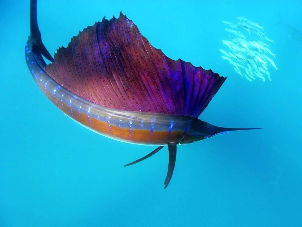 Какая рыба в океане плавает быстрее всех и ее скорость