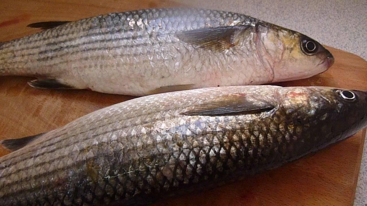 Кефаль рыба её польза и вред. польза и вред кефали | здоровье человека