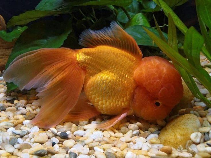 Содержание золотой рыбки оранда в аквариумных условиях