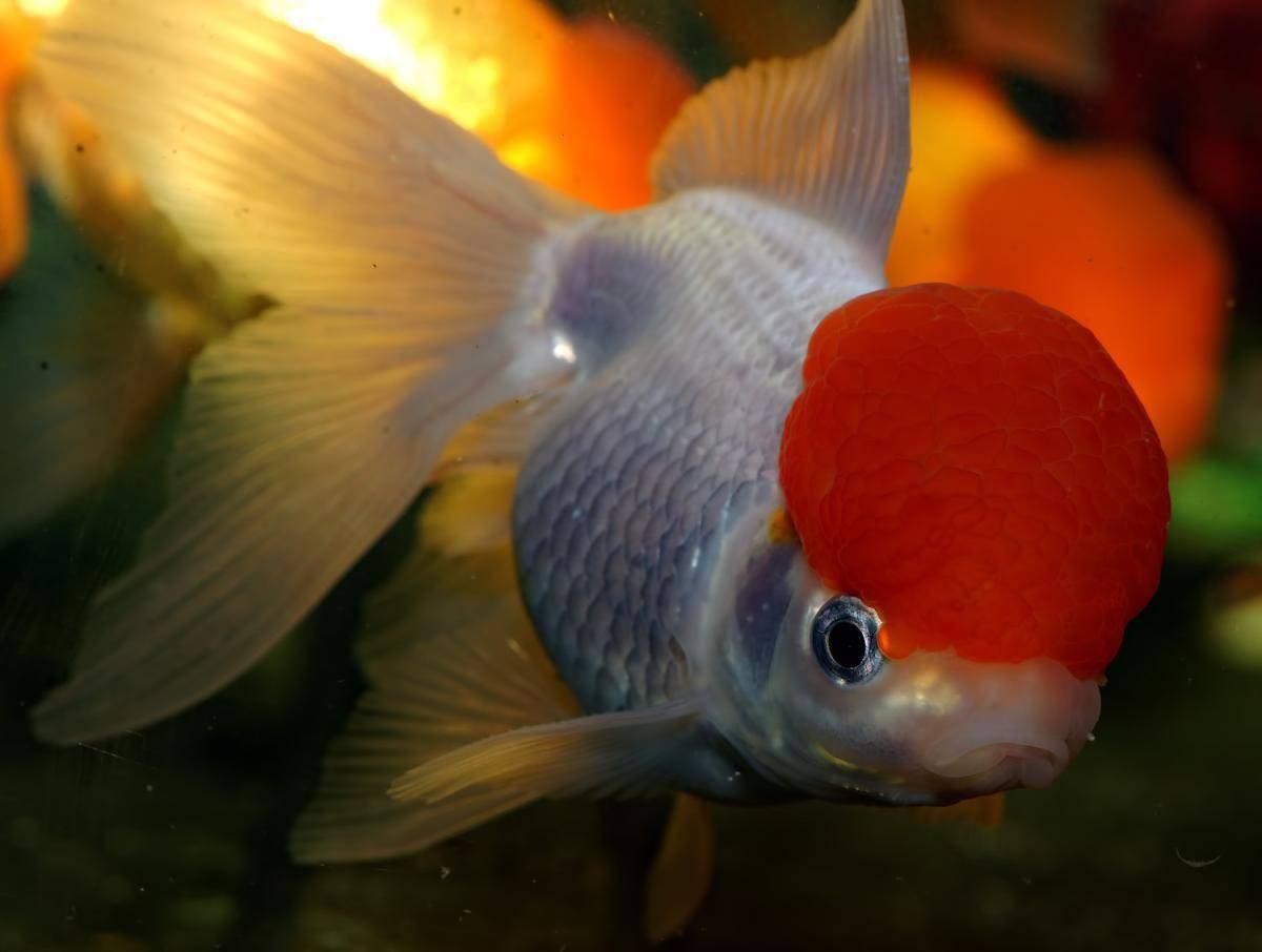 Золотая рыбка оранда: подвиды аквариумного питомца, нюансы содержания и ухода