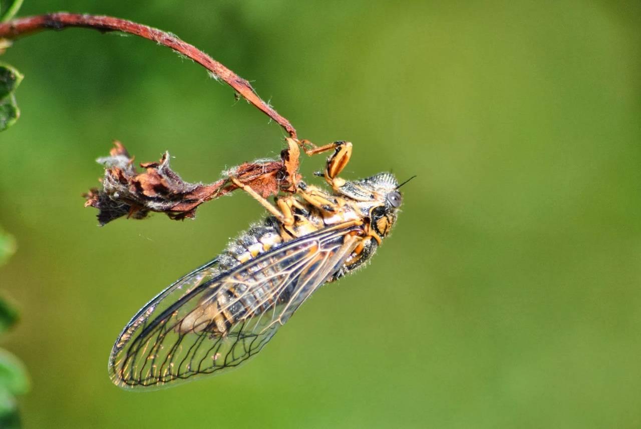 Цикада - что это такое и как выглядит: фото насекомого