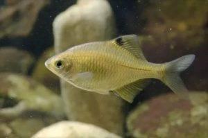 Горчак: описание пресноводной рыбы, ареал распространения, особенности ловли и содержания