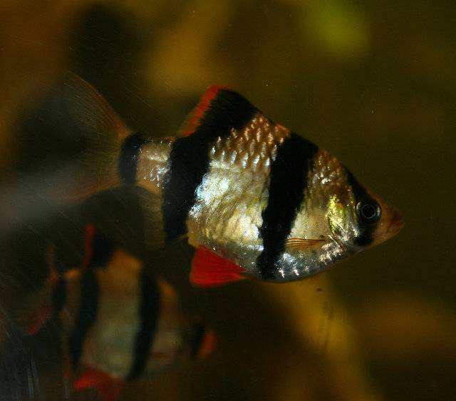Суматранский барбус: фото рыбки, содержание, разведение, совместимость, видео суматранский барбус: фото рыбки, содержание, разведение, совместимость, видео