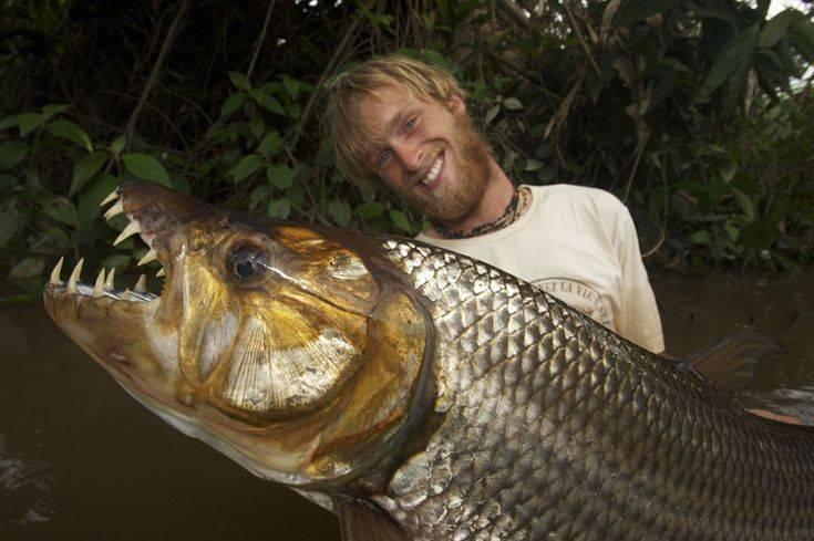 Тигровая рыба голиаф — описание и характеристики