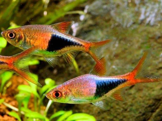 Микрорасбора (данио, расбора) галактика: содержание в аквариуме, правила кормления, советы по размножению и совместимости с рыбками, а также фото данного вида