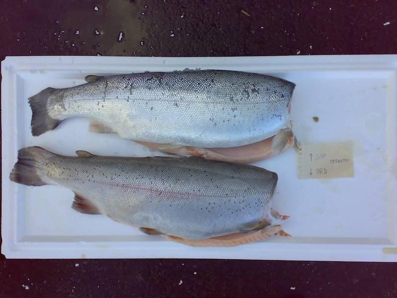 Лосось и семга — чем отличаются эти рыбы?