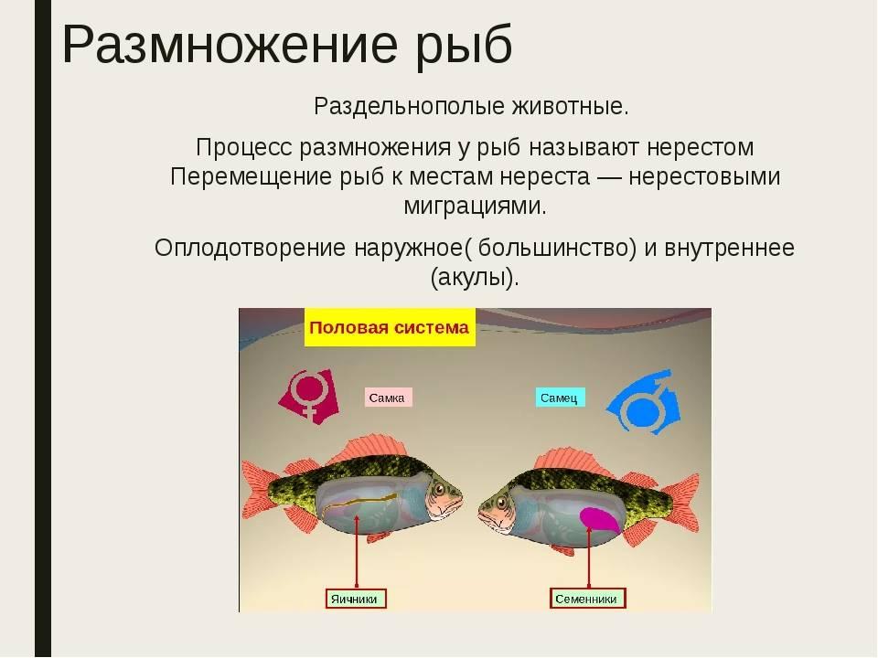 Сообщение на тему размножение и развитие рыб. спаривание рыб: кратко о способах размножения рыбок. всего различают три вида размножения и развития рыб