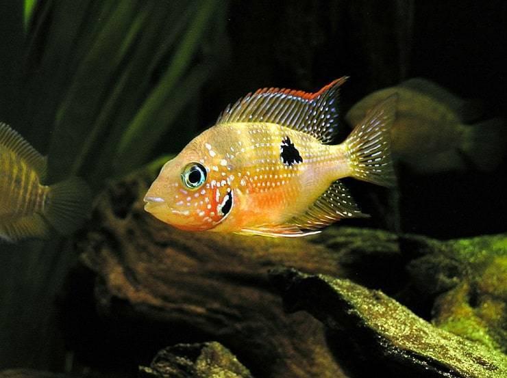 Основные причины, почему рыбки в аквариуме лежат на дне, и как с этим бороться