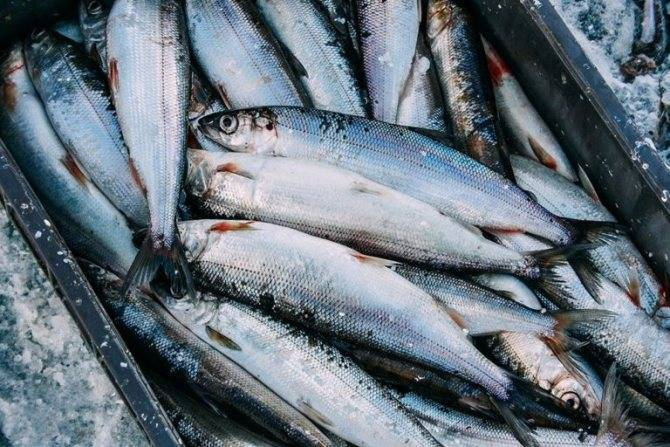 Рыба омуль фото и описание
