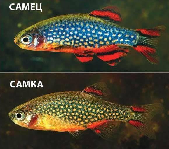 Рыба паку: содержание красного хищника — пираньи