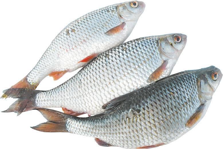 Рыба сорожка (плотва обыкновенная)