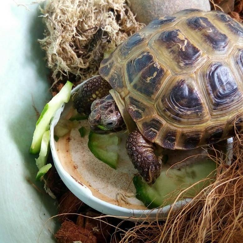 Чем кормить всеядных и травоядных сухопутных черепах в домашних условиях?