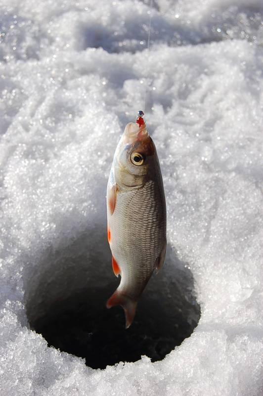 Ловля чебака зимой и летом | ribakov.net