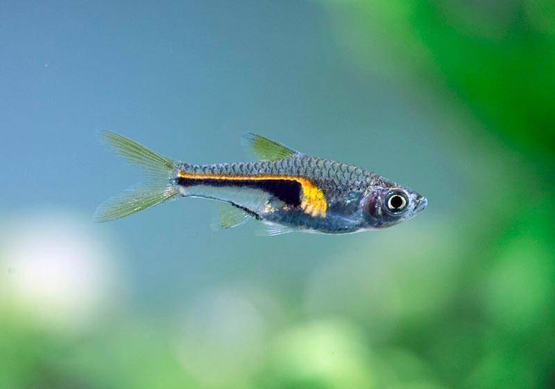 Расбора эспей (rasbora espei): фото, правила содержания, особенности размножение и рекомендации по кормлению, а также про совместимость с другими рыбками