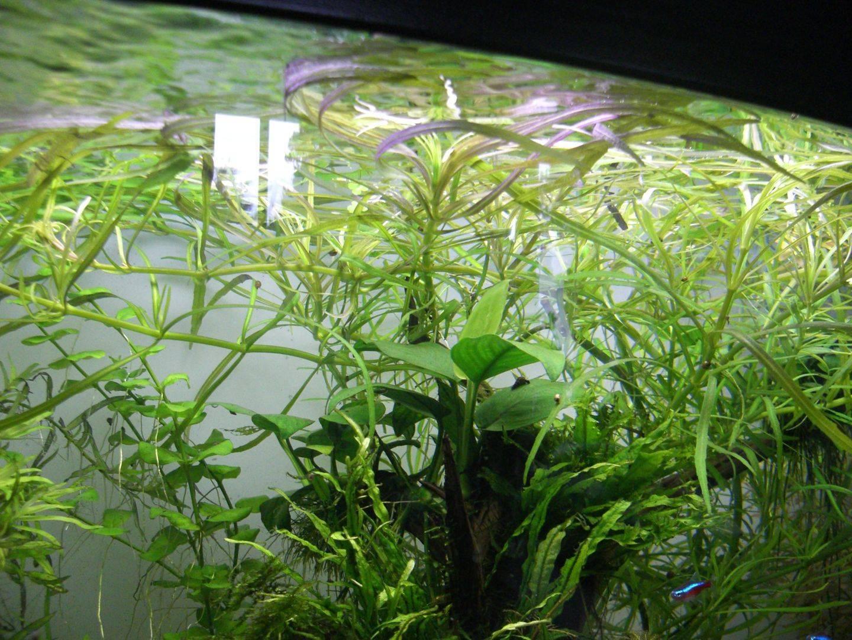 Погостемон хелфери: описание водоросли, содержание и размножение аквариумного растения