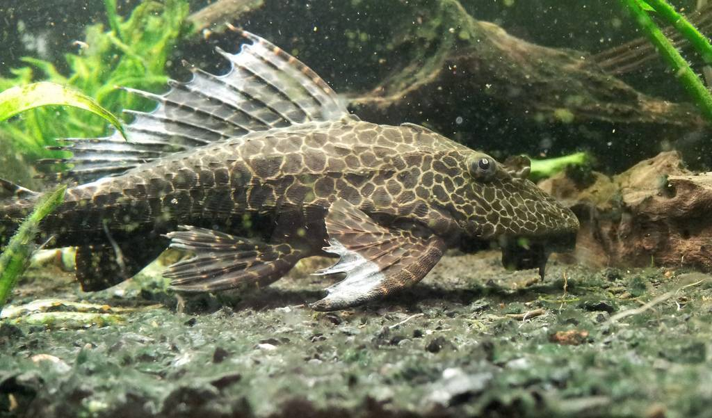 Парчовый сом, или птеригоплихт: описание рыбы, содержание и уход