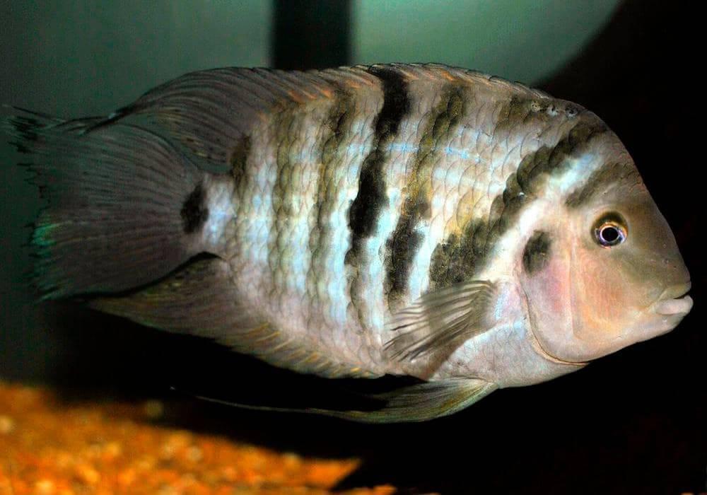 Особенности содержания и ухода за цихлазомой в домашнем аквариуме