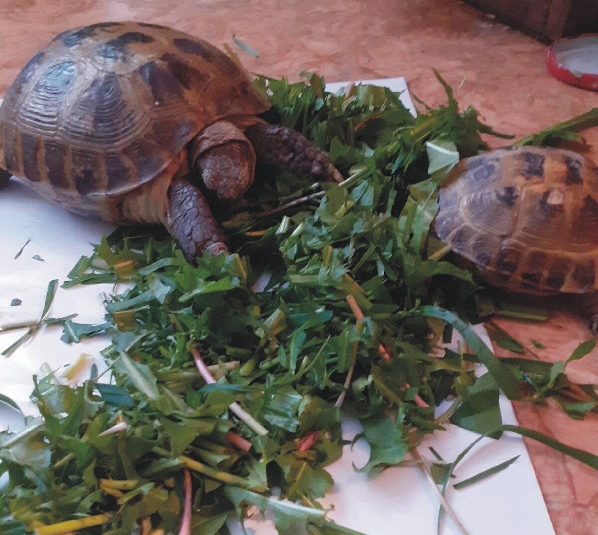 Как выбрать черепаху для дома? какую лучше черепаху выбрать? практические рекомендации1 min read. стоит ли заводить дома черепаху? иловая или головастая