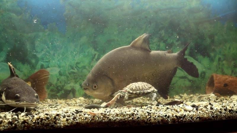 Пиранья красный паку: содержание в аквариуме, совместимость, фото-видео обзор