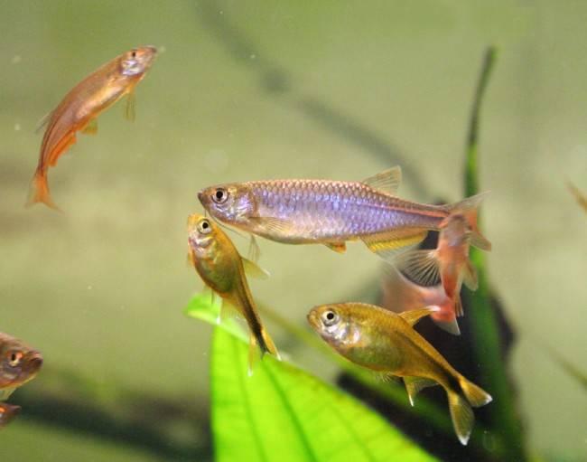 Как размножается аквариумная рыбка данио: условия