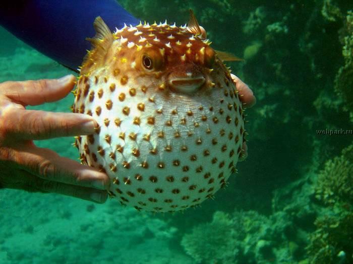 Рыба шар (с колючками и шипами): содержание, совместимость, размножение, уход, кормление, фото