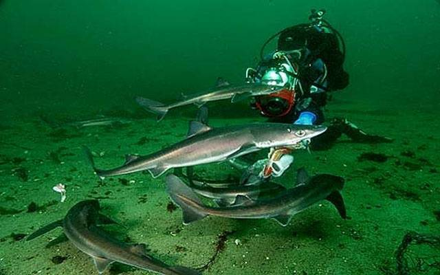 Колючая акула катран: описание, питание