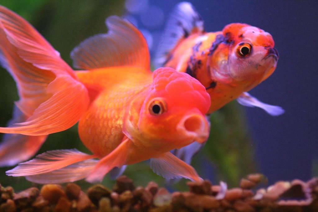 Золотые рыбки уход и содержание в аквариуме: виды, совместимость, кормление, размножение, болезни.
