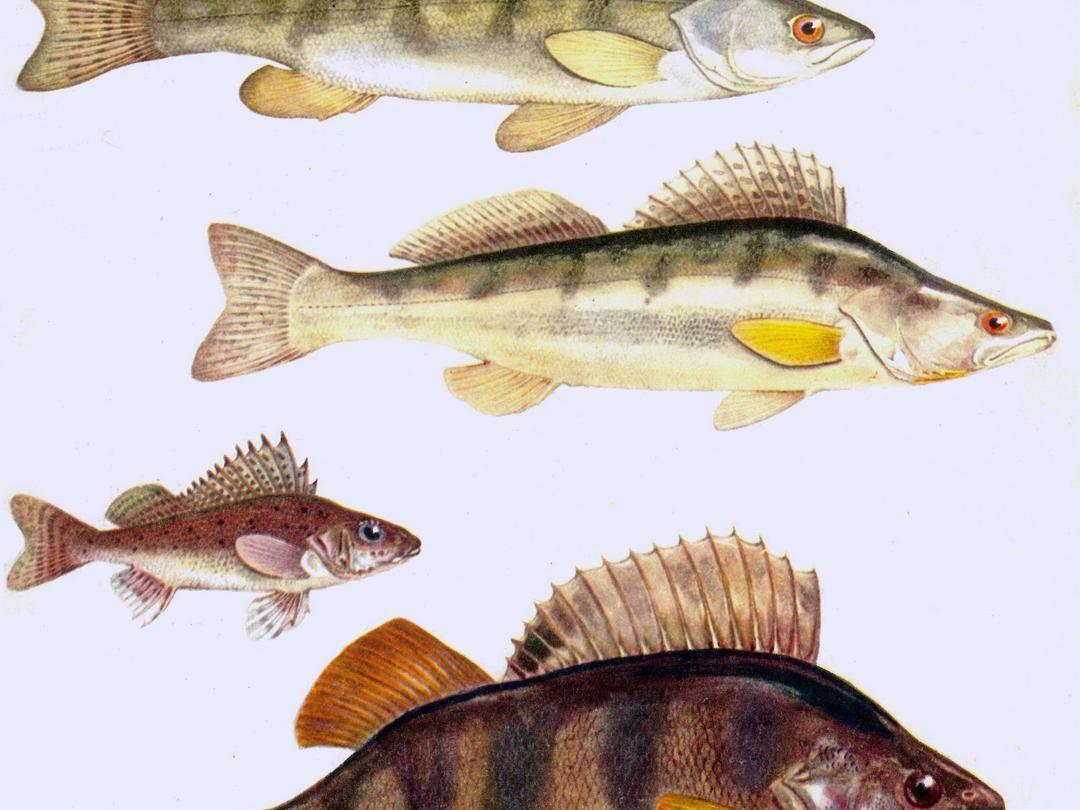 Судак рыба: (описание вида, распространение, образ жизни, нерест)