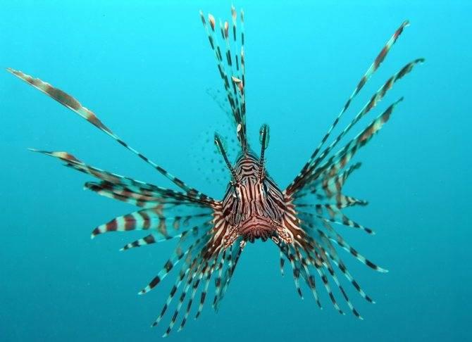 Лазаревский океанариум «тропическая амазонка» - смертельно опасная красота рыбы-льва