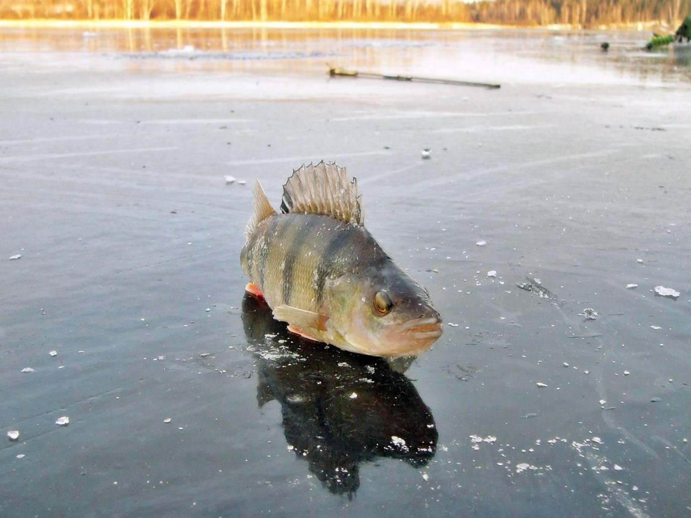 ᐉ ловля щуки зимой по первому льду, в глухозимье и по последнему льду - ✅ ribalka-snasti.ru