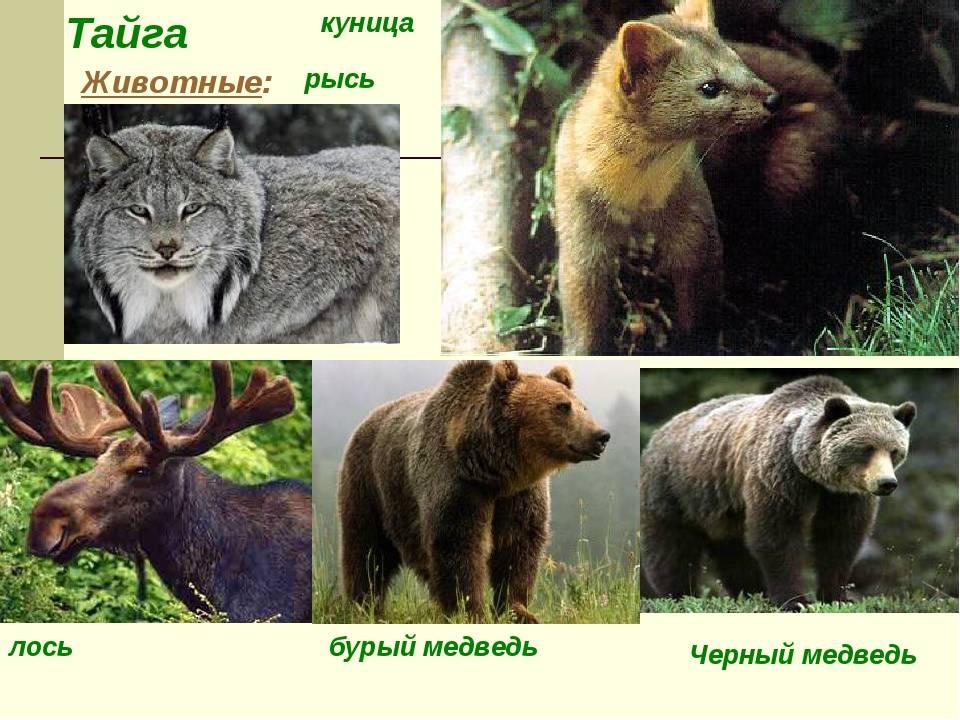 Тайга: географическое положение, особенности климата, растительный и животный мир