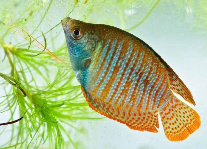 Лабео: фото аквариумной рыбки, совместимость с другими обитателями, правила содержания, как кормить, а также, чем примечательный черный вид и альбинос