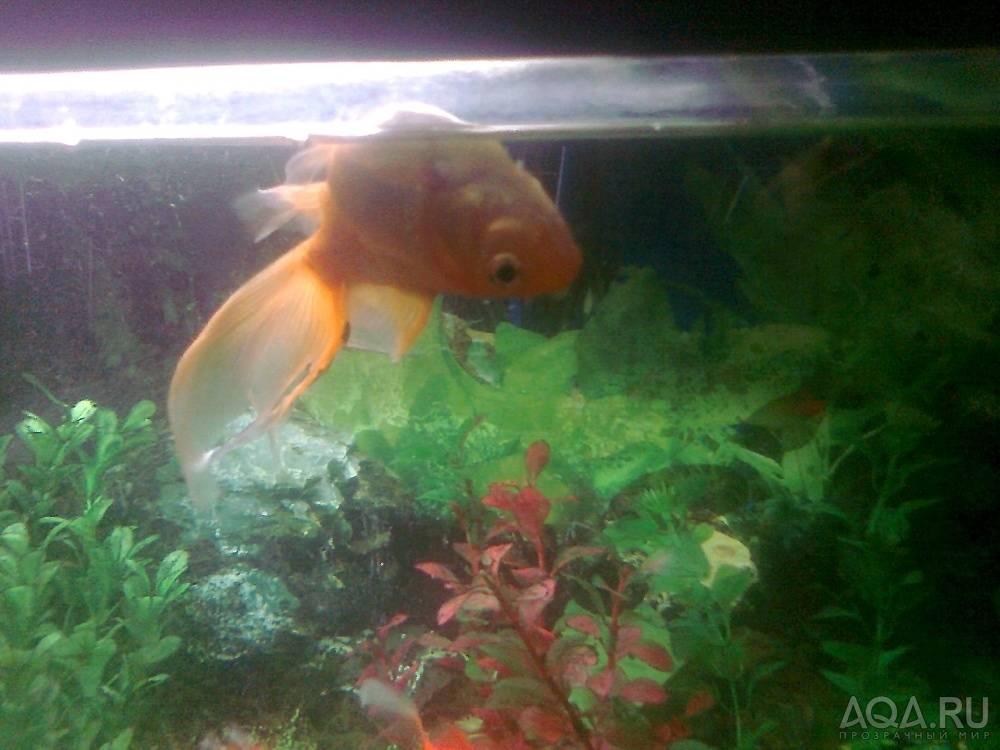 Почему золотая рыбка плавает брюхом кверху и как помочь ей