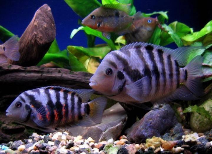 Цихлазома чернополосая (27 фото): особенности содержания чернополосых цихлид, совместимость цихлиды-зебры с другими рыбами