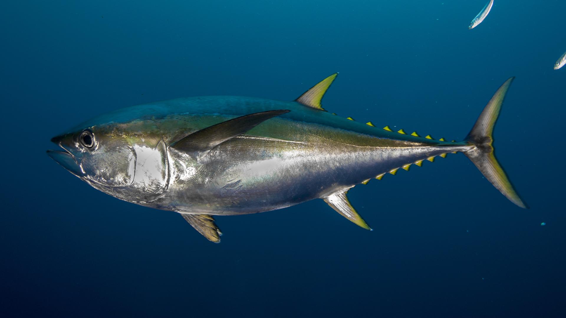Польза и вред тунца для здоровья человека, калорийность и полезные свойства