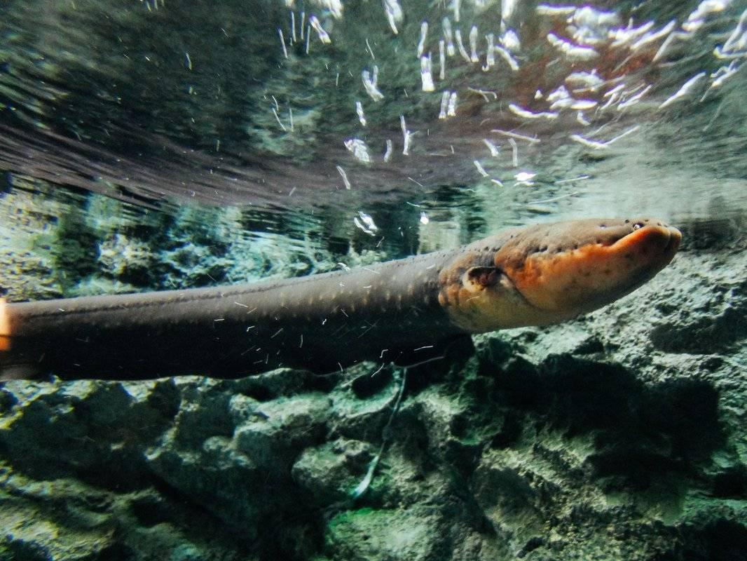 Угорь. рыба-феномен | описания и фото животных | некоммерческий учебно-познавательный интернет-портал зоогалактика