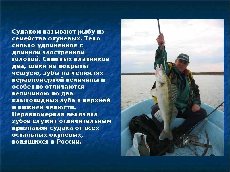 Судак - 81 фото лова и обитания крупной и ценной промысловой рыбы
