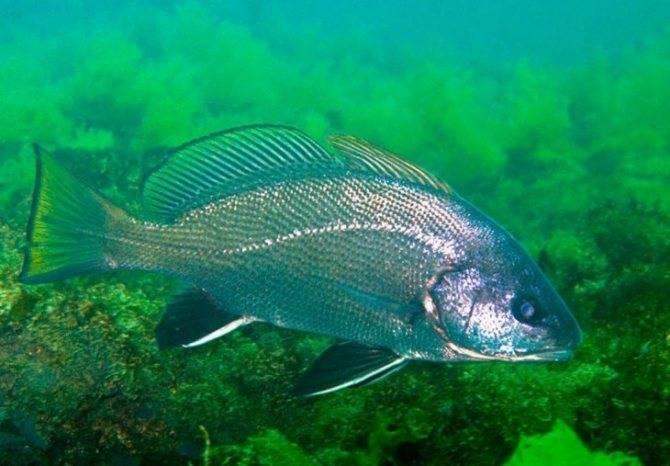 Дорадо (корифена) - как, где и на что ловить в средиземном море израиля | все о рыбалке в израиле