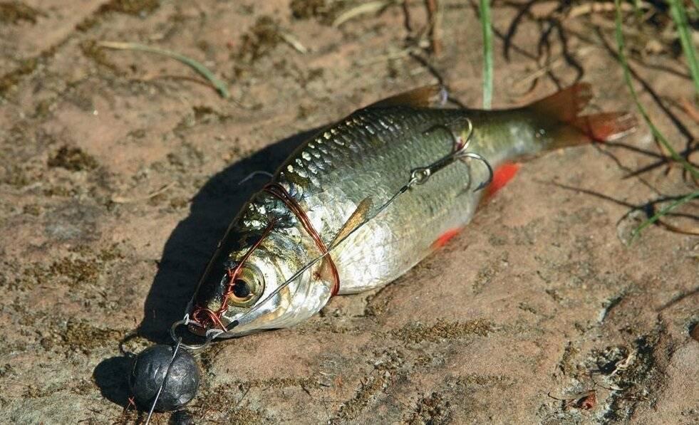 Как поймать живца зимой для рыбалки на жерлицы