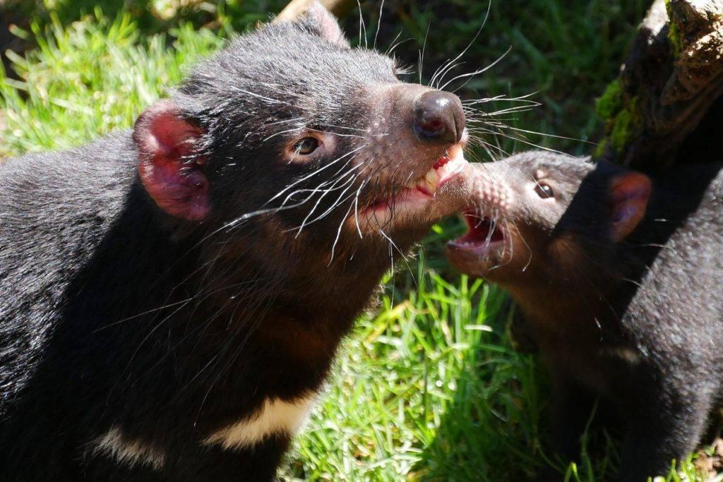 Тасманский дьявол. приманка для ловли хищной рыбы.