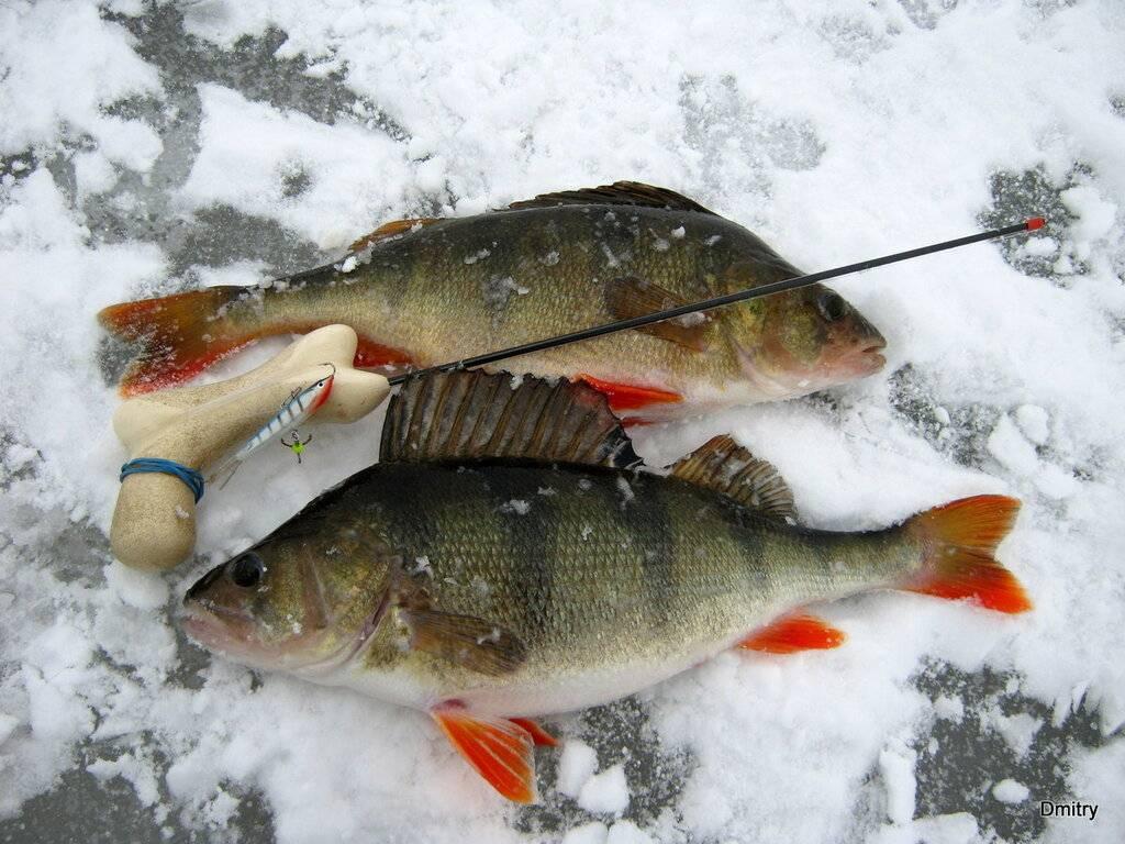 Ловля окуня зимой — поиск, приманки, фото
