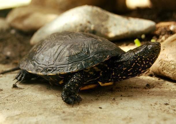 Европейская болотная черепаха: уход и содержание в домашних условиях, чем кормить и как разводить
