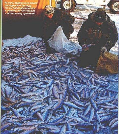 Омуль байкальский: рыбалка на рыбу, где водится, есть ли запрет на вылов