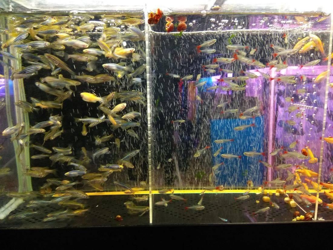 Разведение аквариумных рыбок в домашних условиях с чего начать