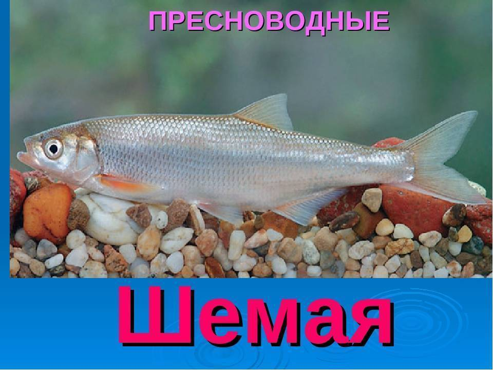Рыба шамайка (шемая азовская) (25 фото): внешний вид и места обитания, наказание за браконьерство, видео