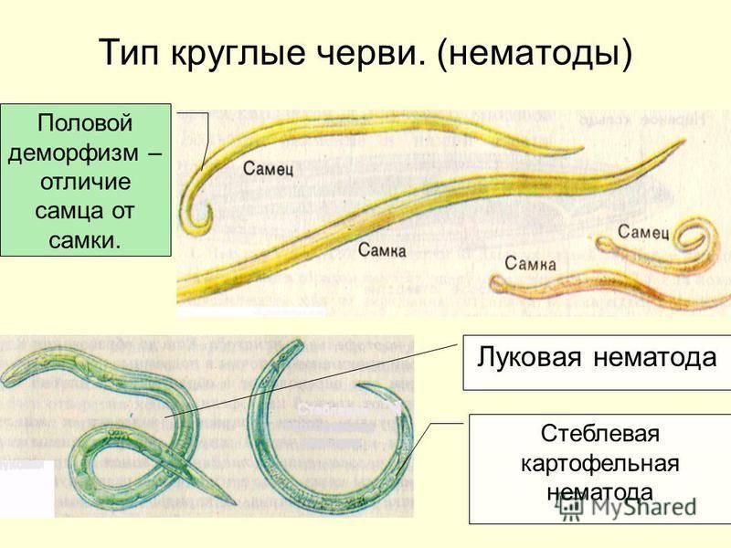 Паразиты в морском окуне: чем опасны черви в окуне