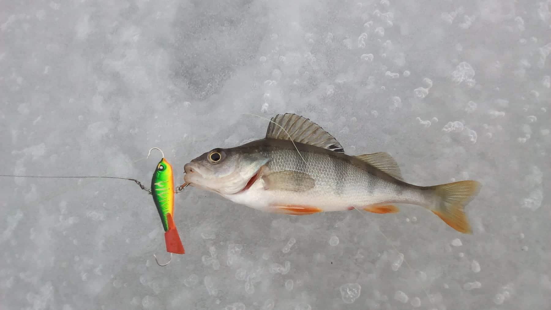 Как ловить окуня зимой — самые уловистые снасти и приманки для ловли окуня зимой — рыбалка отдых для души