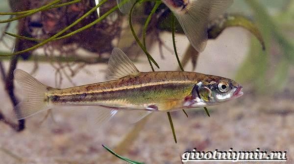 Ловля гольянов: приманки, способы и места ловли рыбы